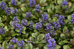 low maintenance backyard plants   ajuga