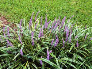 low maintenance plants   Liriopetrobe