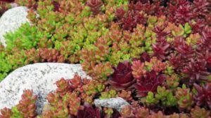 low maintenance backyard plants   sedum