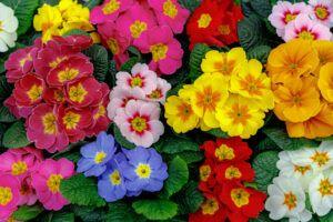 low maintenance backyard plants   primrose beauty