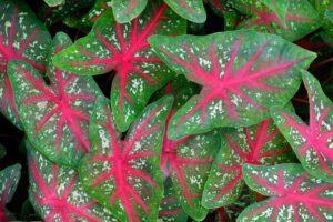 low maintenance backyard plants   caladium