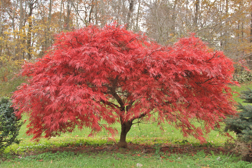 Good Shade Trees for Small Yards