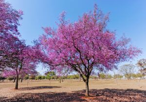 good shade trees for small yards | crepe myrtle