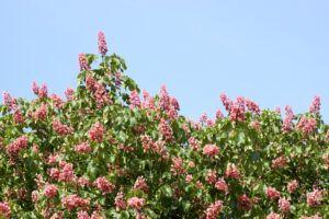 good shade trees for small yards | red buckeye tree